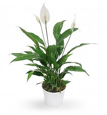 Plants: White Peace Lily